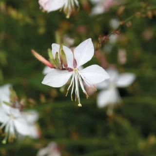 Gaura  Blanc Rose. Le pot de 9x9 cm 183634