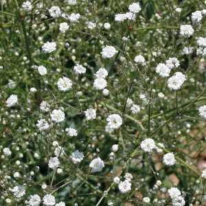 Gypsophile Haut Blanc. Le pot de 9x9 cm 183637