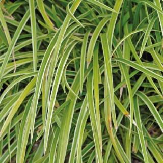 carex morowii variegata. Le pot de 9x9 cm 183661