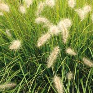 Pennisetum Alopecuroides. Le pot de 9x9 cm 183668