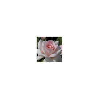 Rosier Prince Jardinier® Le pot de 3 litres 184278