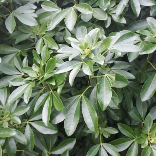 Choisya Ternata – Pot de 3L 184870
