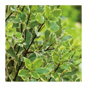 Pittosporum Tenuifolium - pot 10 L 185147