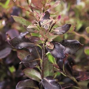 Pittosporum Tenuifolium Tom Thumb - pot 7,5 L 185475