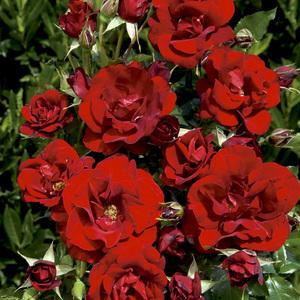 Rosier Rose de Fleurie® Le pot de 3 litres 186792