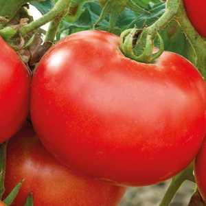 Tomate ronde Merveille Des Marchés. Le pot de 10,5 cm 191169