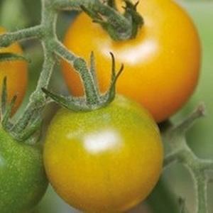 Tomate Cerise ronde Green Grape. Le pot de 10,5 cm 245205
