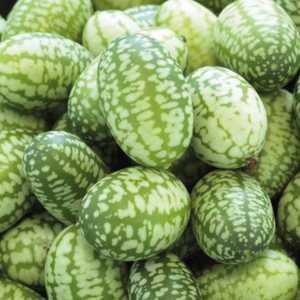 Mini Concombre Zhénaria. Le pot de 10,5 cm 66440