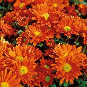 Chrysanthème vivace orange. Le pot de 9x9 cm 191617