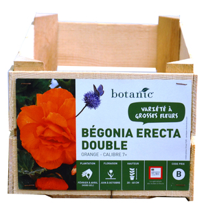 Bégonia Erecta double Orange calibre 7/+ en vrac 196952