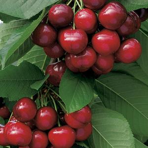 Cerisier Sunburst botanic® 197225