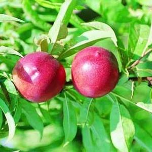 Nectarine Morton forme Gobelet racines nues 197655