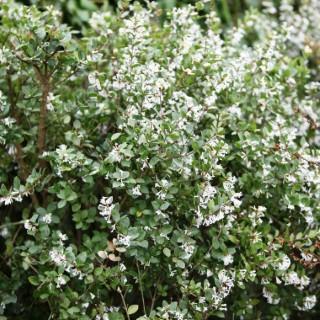 Osmanthus Hybride Heaven Scent en pot de 4 L 198059