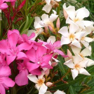 Laurier rose Tricolor (Nerium Oleander) 50/60. Le pot de 3 litres 198493