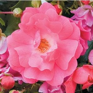 Rosier Eméra rose – Pot bleu de 10L 198563