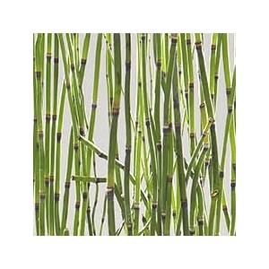 Equisetum Japonicum. Le pot de 3 litres 199846
