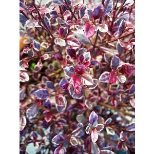 Lophomyrthus Ralphii Magic Dragon rose en pot de 8 L 198932