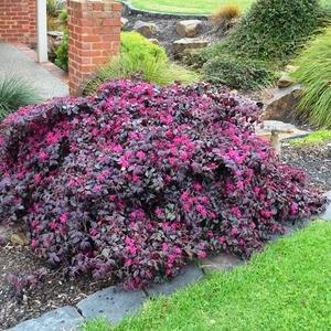 Loropetalum Chinense Plum Gorgeous rose en pot de 4 L 198935