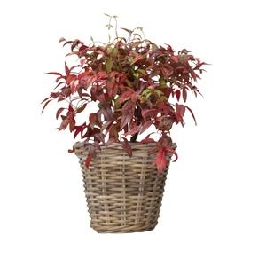 Nandina Domestica Obsessed ou bambou sacré rouge en pot de 5 L 198943
