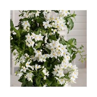 Solanum jasminoides en pot de 3 litres 198969