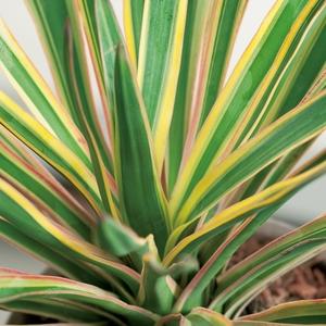 Yucca Gloriosa Variegata - pot 5 L 198978