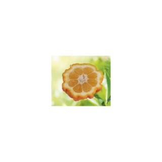 Oranger Bizzaria bio. Le pot de 3 litres 199340