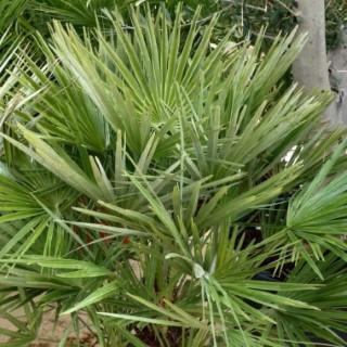 Chamaerops Humilis vert 3 pieds en pot de 24 L 199484