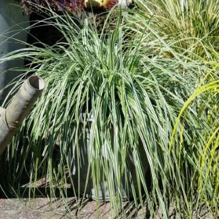 Carex Oshimensis Everest en pot de 4 L 199590