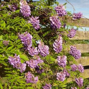 Glycine Amethyst Falls (Wisteria Frutescens). Le pot de 4 litres 199664