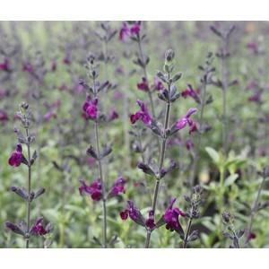 Salvia jamensis violette de Loire en pot de 5 L 199768