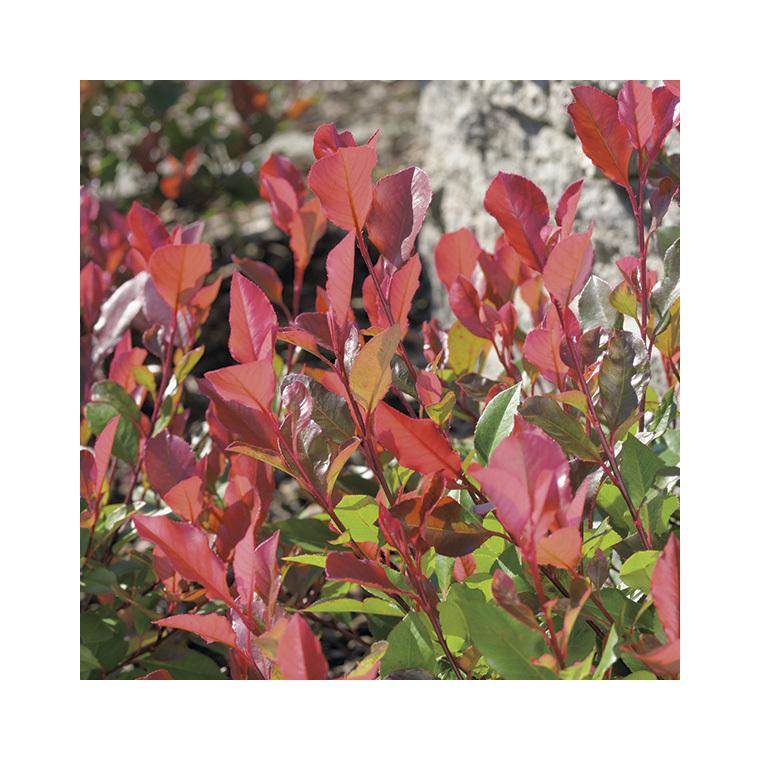Photinia Red Robin en pot de 3 litres