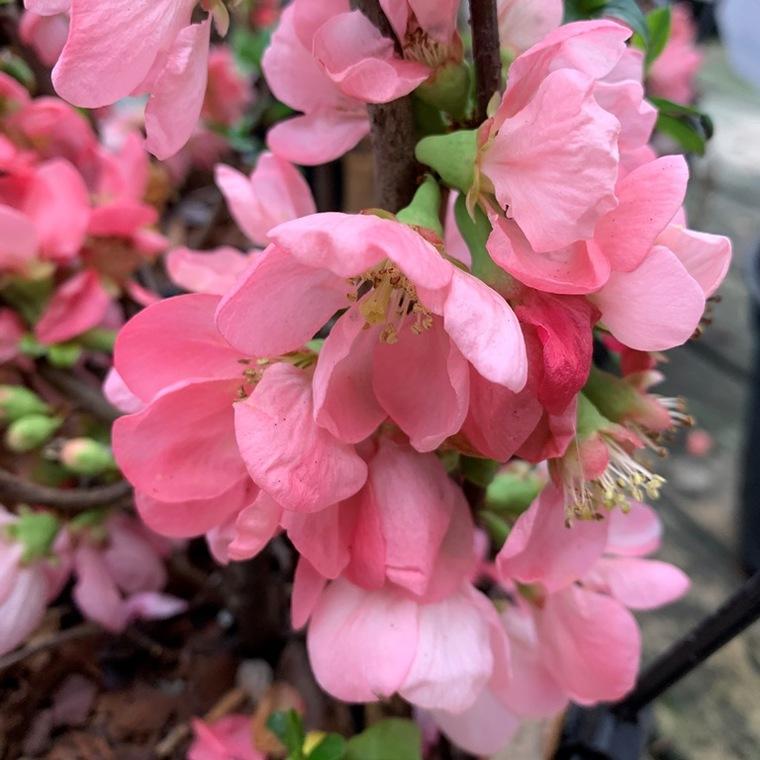 Cognassier du Japon Pink Lady 40/50 tipi. Le pot 3 litres 101256