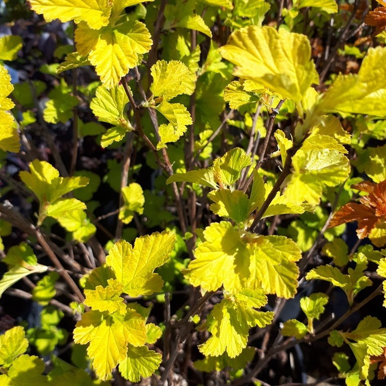 Physocarpe Angel Gold (Physocarpus Opulifolius). Le pot de 5 litres 101335