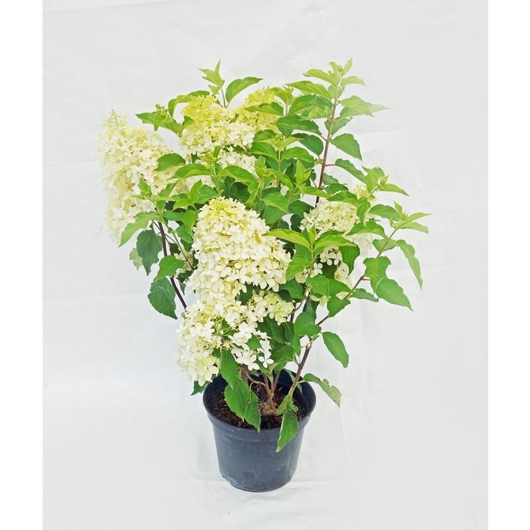 Hortensia (HYDRANGEA PANICULATA PHANTOM®), en pot de 7 litres 101400