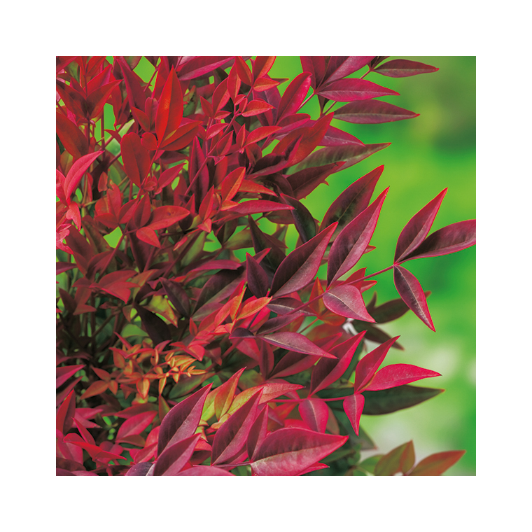 Nandina Domestica Gulf Stream (Bambou sacré) en pot de 5 L rouge 101416
