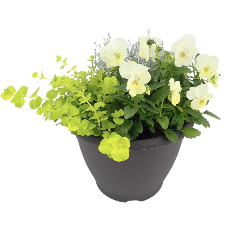 Plantes vivaces variées. Le pot de 3 litres 101562