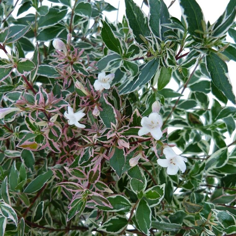 Abélia Grandiflora Conti blanc. Le pot de 5 litres 101574