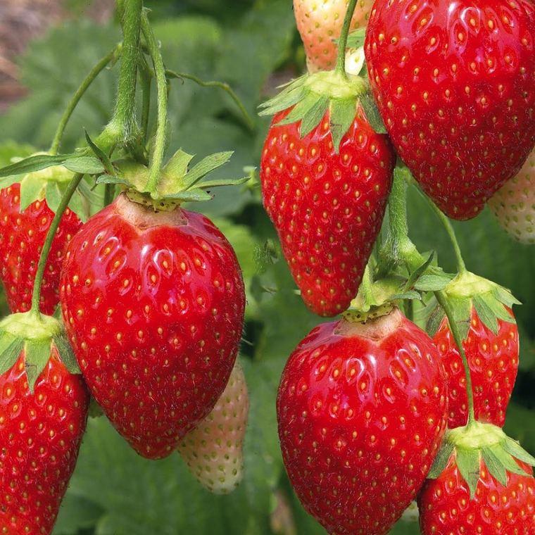 Fraisier Ciflorette Non Remontant. La barquette de 6 plants