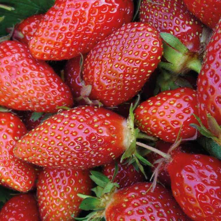 Fraisier Gariguette Non Remontant bio. Le pot compostable de 10.5 cm 101882