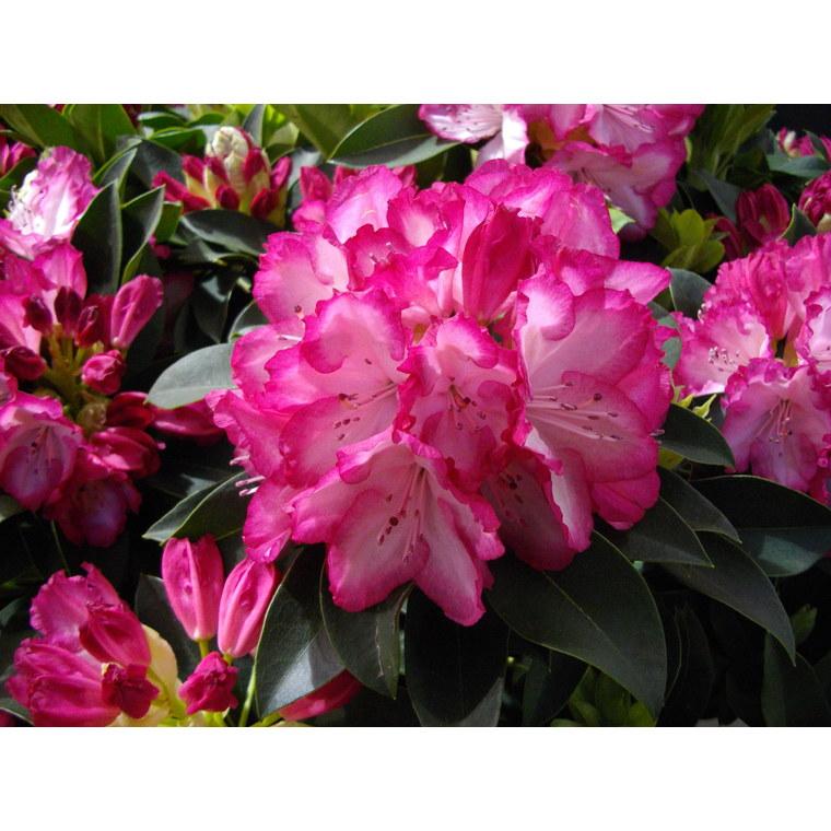 Rhododendron XXL 5L 101898