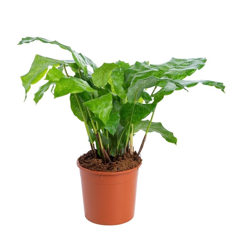 Calathea mix à feuilles rondes. Le pot de 14 cm 101940