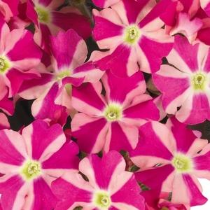 Verveine retombante pink star en pot coloré de 1 L