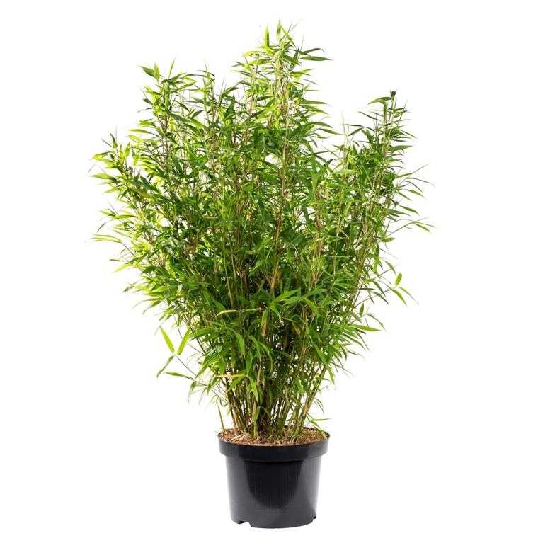 Bambou Fargesia Angustissima. Le bac carré de 45 litres 102638