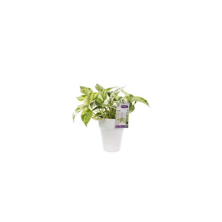 Pothos marble queen. Le pot de 15 cm 106866