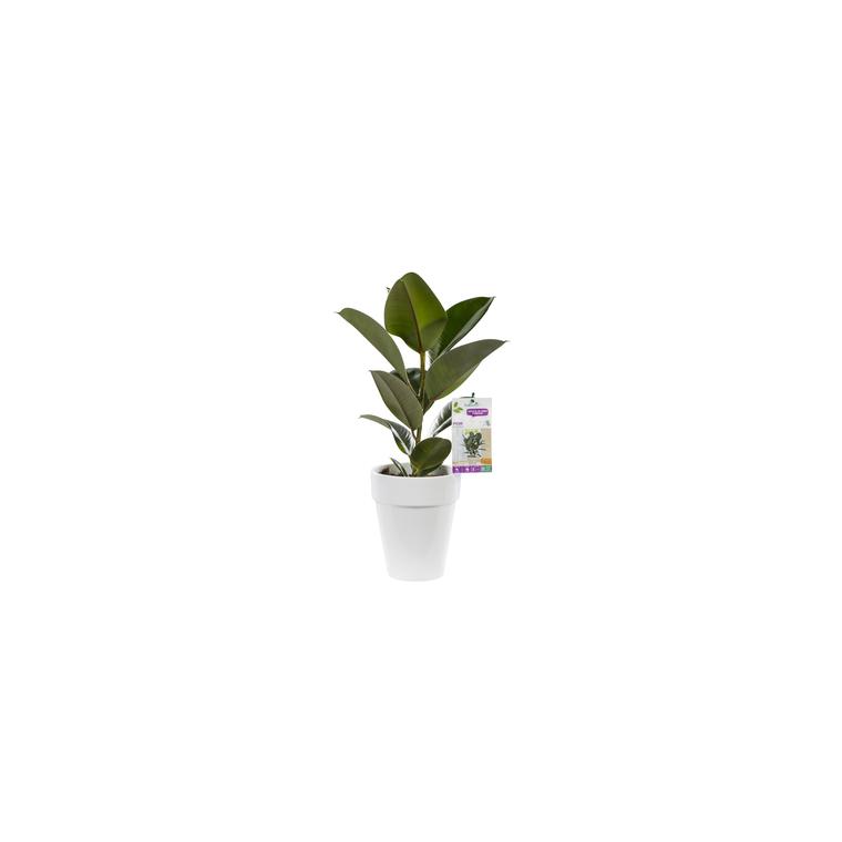 Ficus elastica. Le pot de 18 cm 106874