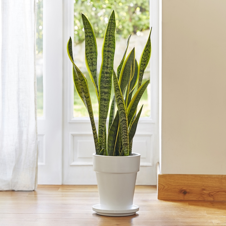 Sanseveria laurentii. Le pot de 21 cm