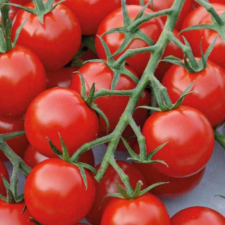 Tomate Cocktail en grappe Harmony. Le pot compostable de 10,5 cm 107923