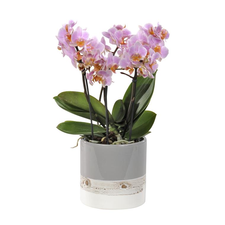 Orchidée Phalaenopsis boquetto. Le pot de 12 cm