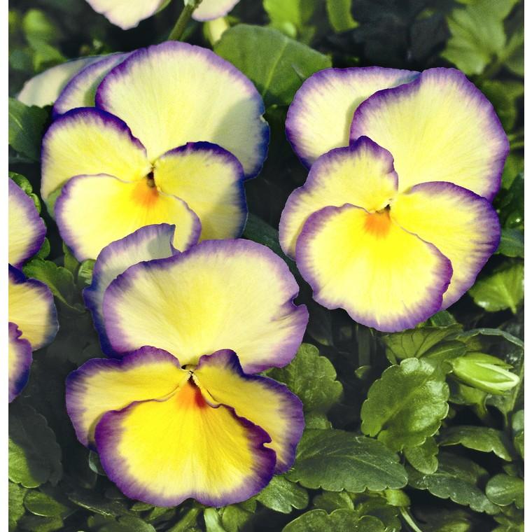 Viola vivace bleue en pot de 1 L