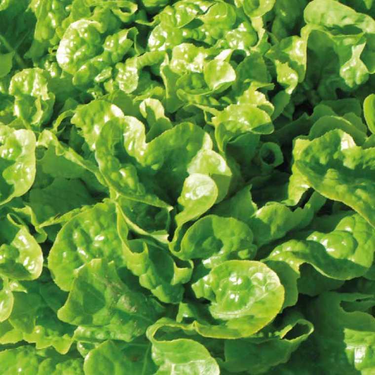 Laitue Feuille De Chêne Verte Kilervi. La barquette de 12 plants 109561